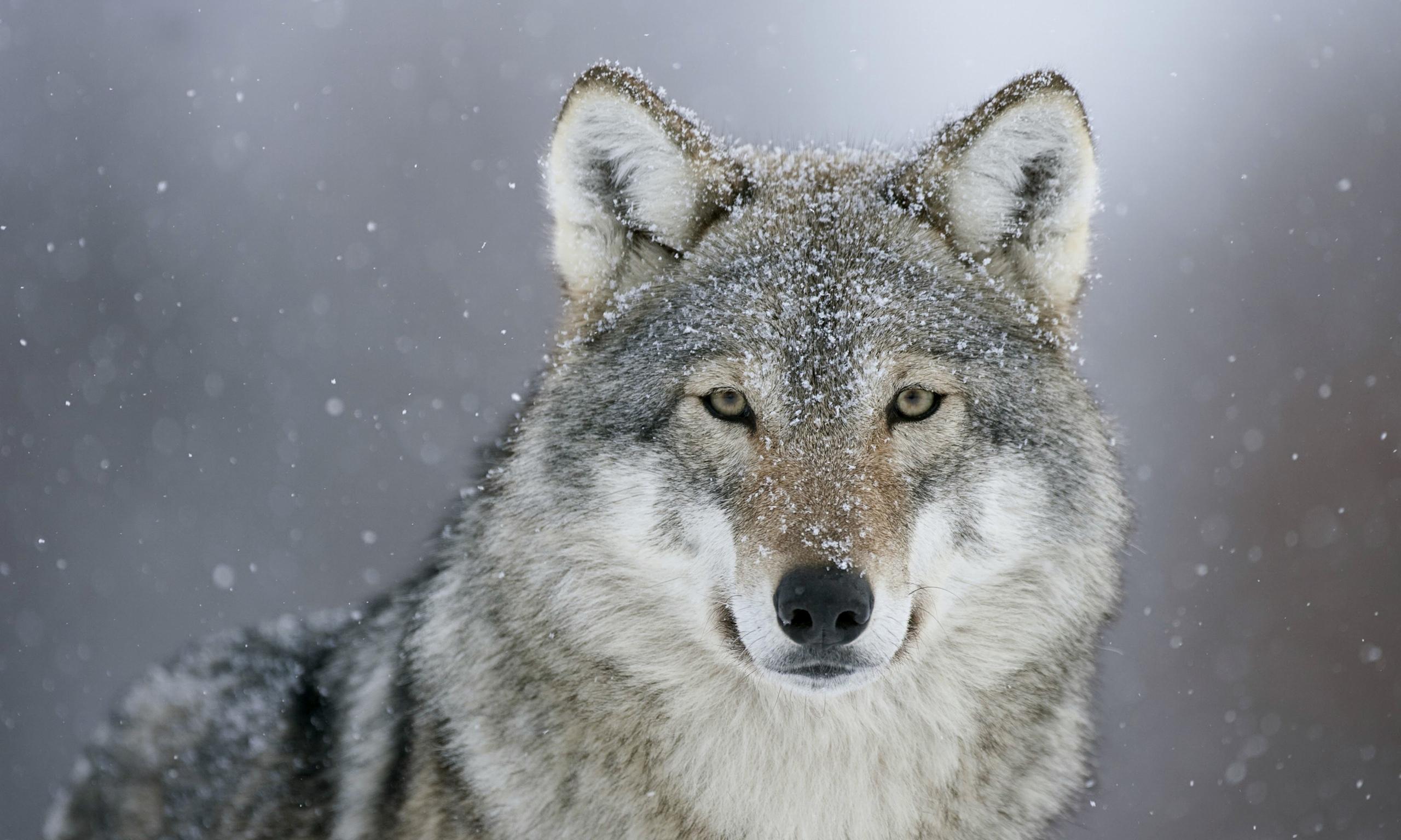 雪の中でこちらをじっと見つめる狼