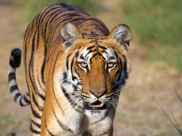 scientific name of tiger