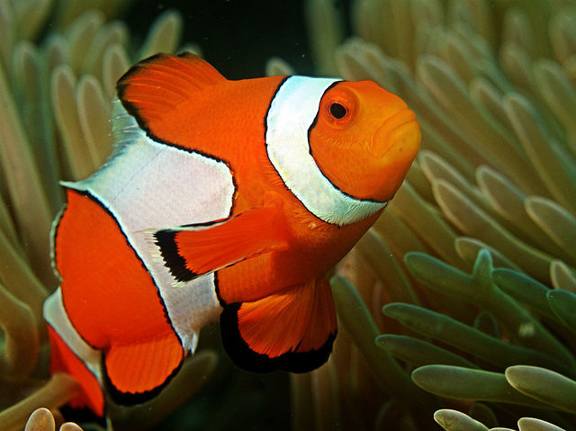 Do you know all the scientific names playbuzz for Clown fish scientific name