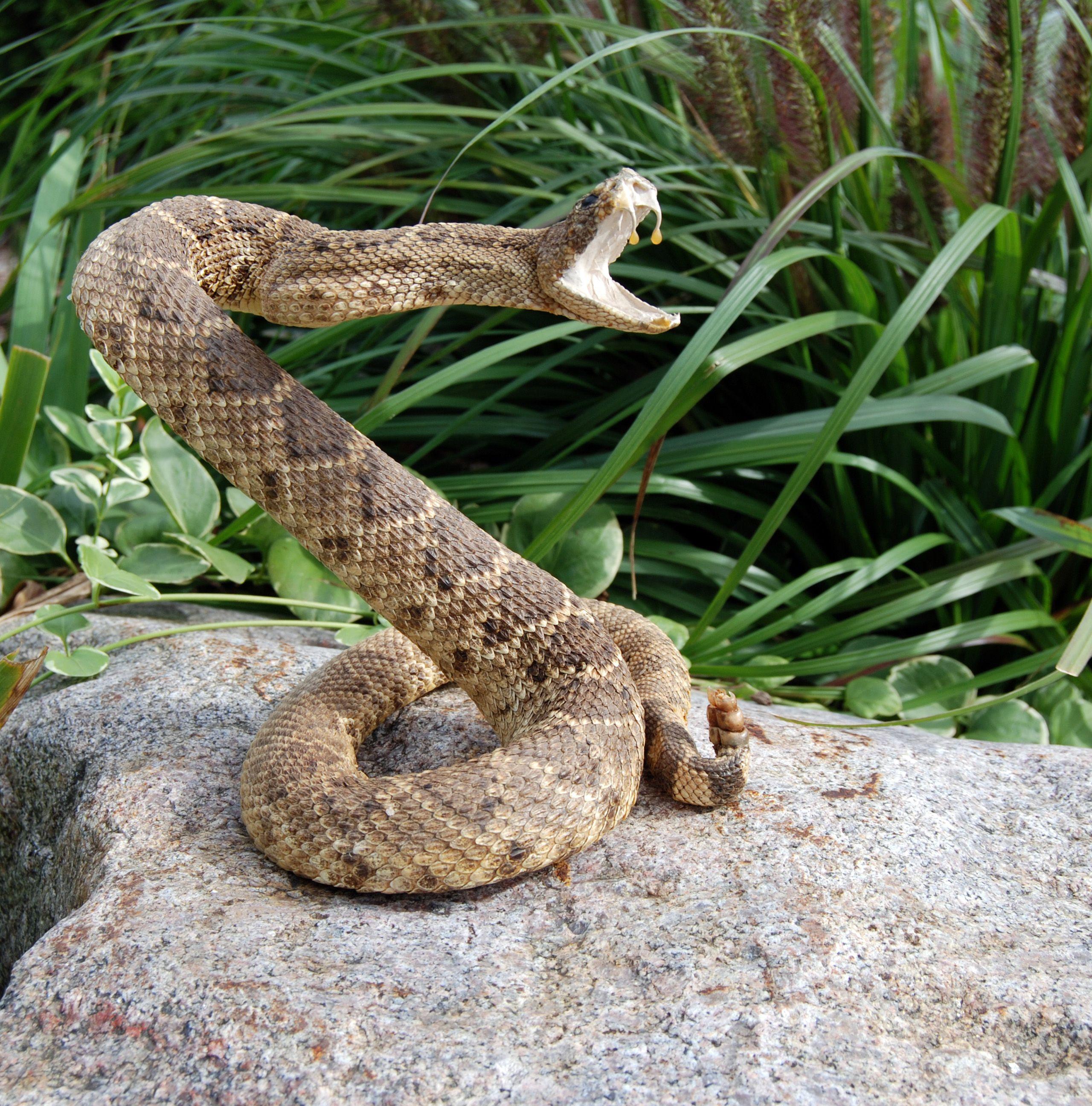 Snake Striking Side View
