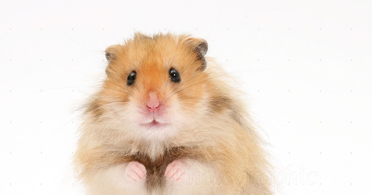 what type of hamster would you be playbuzz. Black Bedroom Furniture Sets. Home Design Ideas
