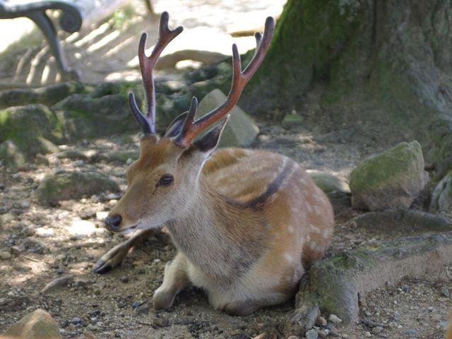 what is male deer called