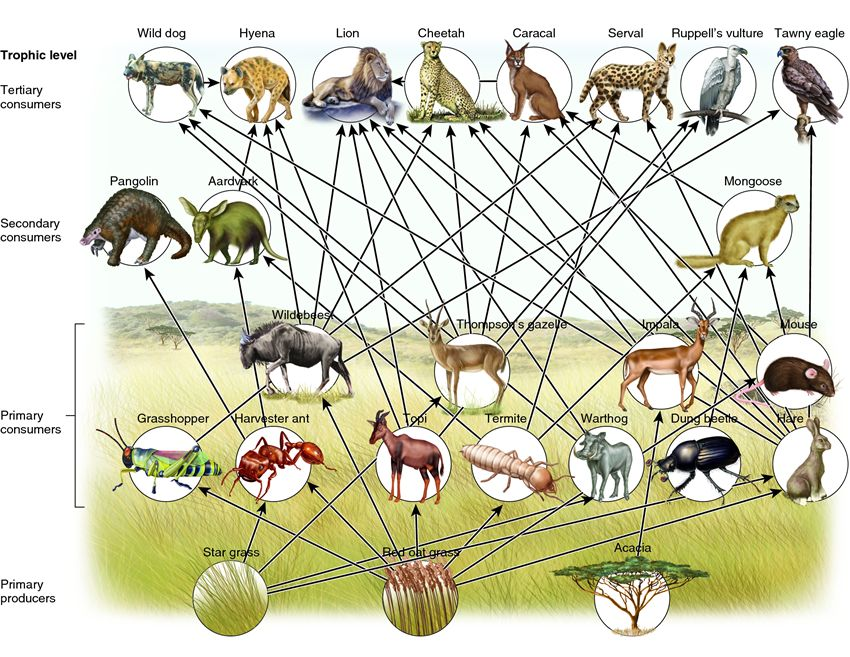 Food Chains and Food Webs   Playbuzz