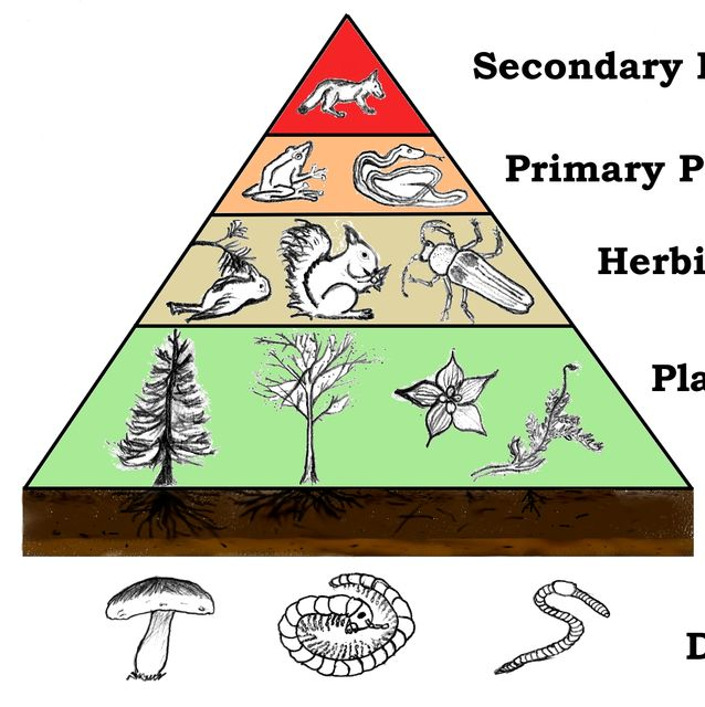 Primary Consumers Examples Food Chains and Food W...