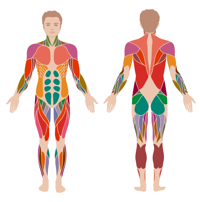 Do You Know Basic Human Anatomy Playbuzz