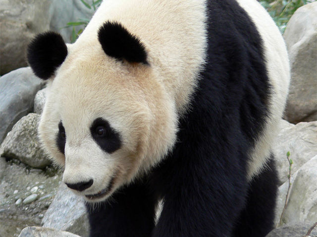 Are You A Giant Panda Trivia Master? | Playbuzz