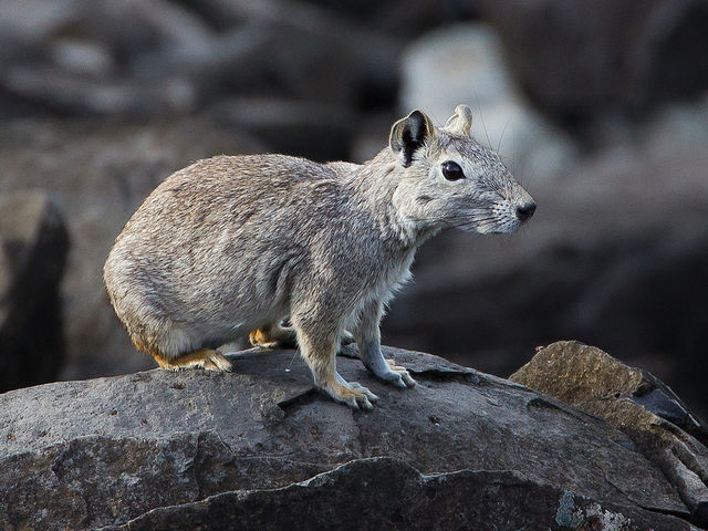 A kerodon is a name for a South American rock cavy...  just think wild guinea pig.