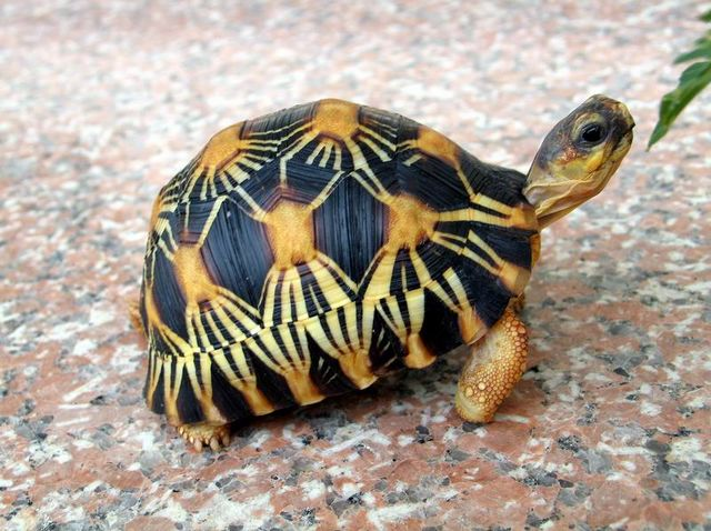 It's used as a name for a few types of animals, but most commonly it's a cute little turtle.