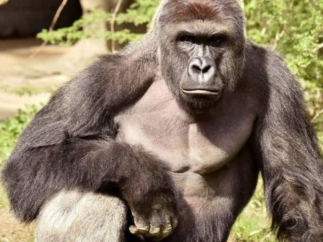 Headline: Harambe, a dead gorilla, got over 15,000 votes for president of the United States