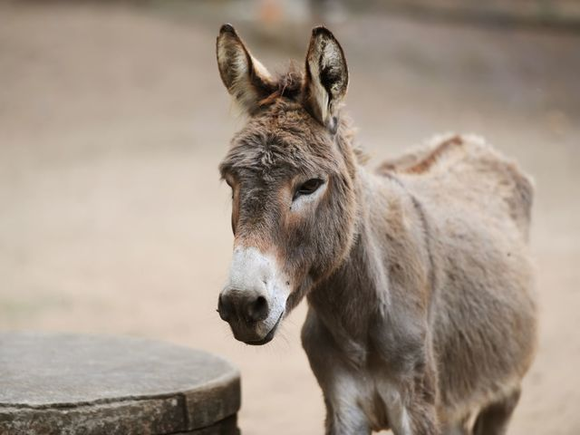 Which animal species is the donkey's closest relative?
