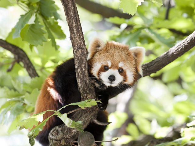 Which animal species is the red panda's closest relative?