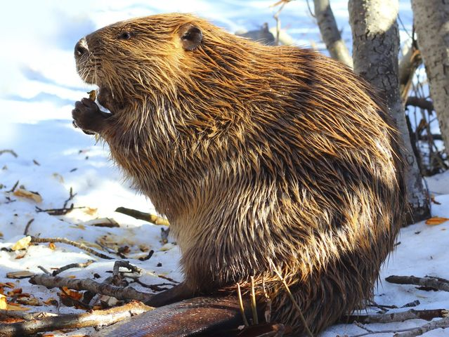 Which animal species is the beaver's closest relative?