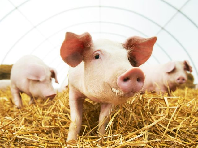 Which animal species is the common pig's closest relative?