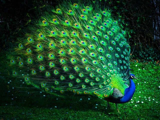 Which animal species is the peacock's closest relative?