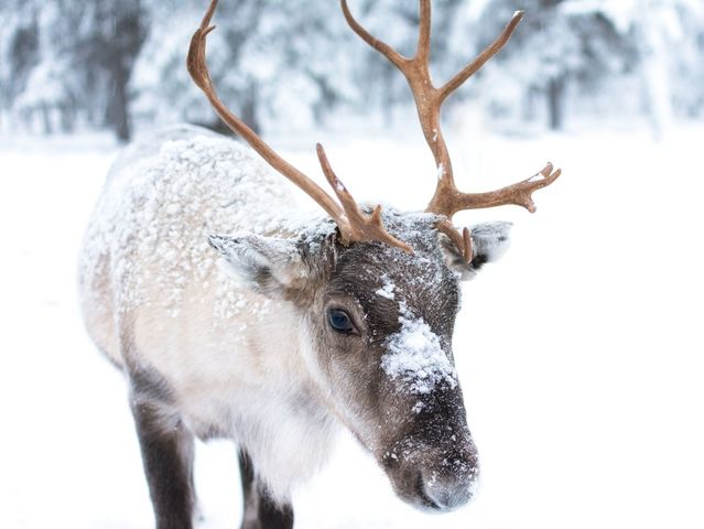 Which animal species is the caribou's closest relative?