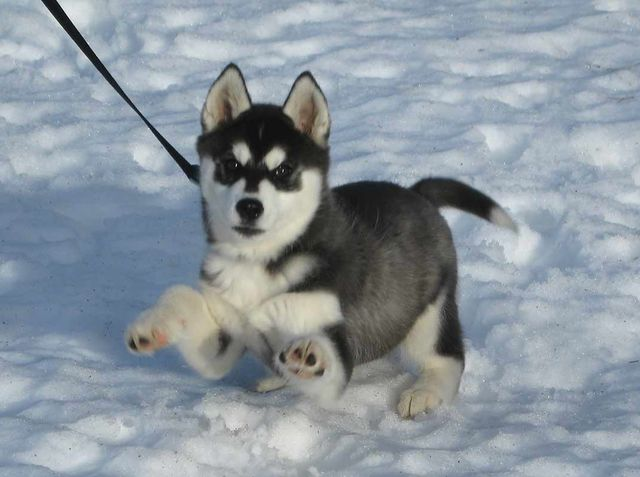 Huskies are the ultimate sled dogs!