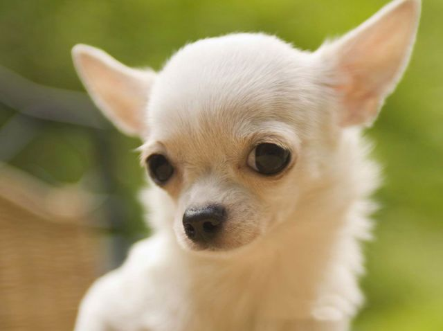 Chihuahua's were bred to be companion dogs! They're small and sweet, and just want to hang out with you!