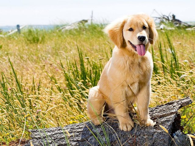 "Golden Retrievers were bred to fetch game during a hunt, so nothing was lost. That's why they are literally called ""retrievers""."