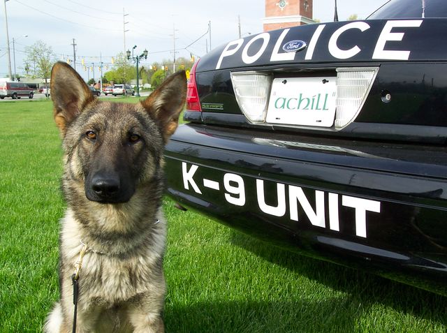 Another versatile breed, German Shepherds are intelligent, capable, and make great police dogs!