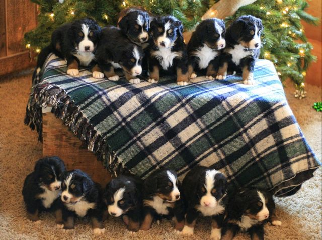 Strong and smart (and adorable!), Bernese Mountain Dogs are the breed you want if you find yourself in a sticky spot!