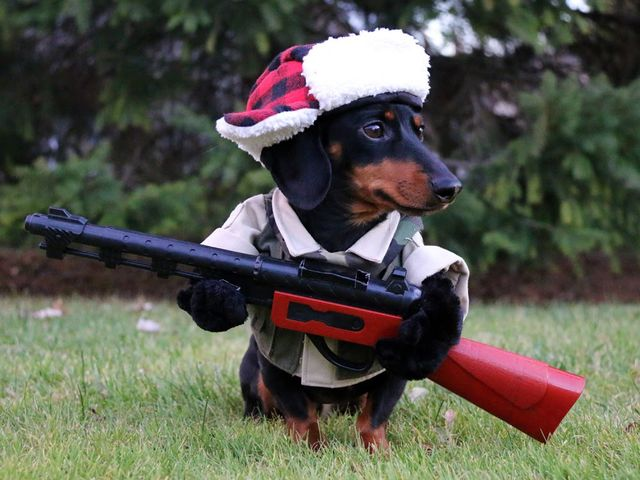 Dachshunds might seem sweet, but they are mighty hunters! They are made to go to ground, hunting both rabbits AND badgers!