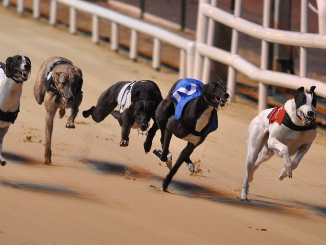 Able to reach speeds over 40 mph, Grayhounds were bred to be racing dogs. They make lovely pets after they've been retired!