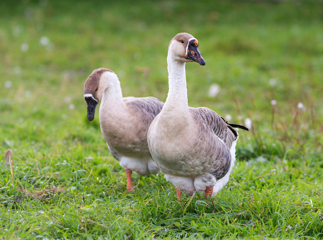 A male goose is a: