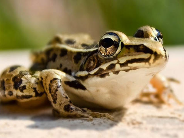 This one is not true in any way, but there are frogs, northern leopard frogs, which pull their own eyeballs back into their heads to help them swallow their food.