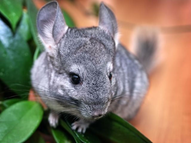 There is an island off the coast of France that is inhabited solely by chinchillas.