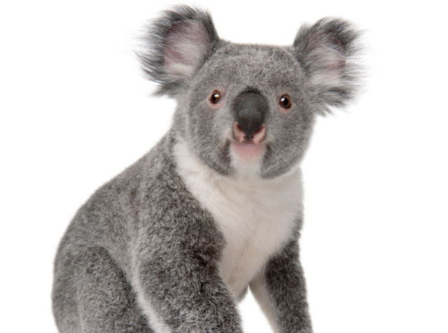 Ok, I went to the zoo yesterday, now I'm a koala bear.
