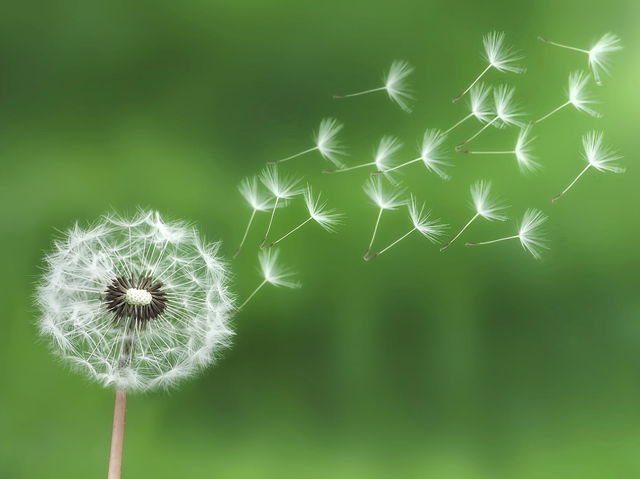 A single dandelion head can produce up to 200 seeds!