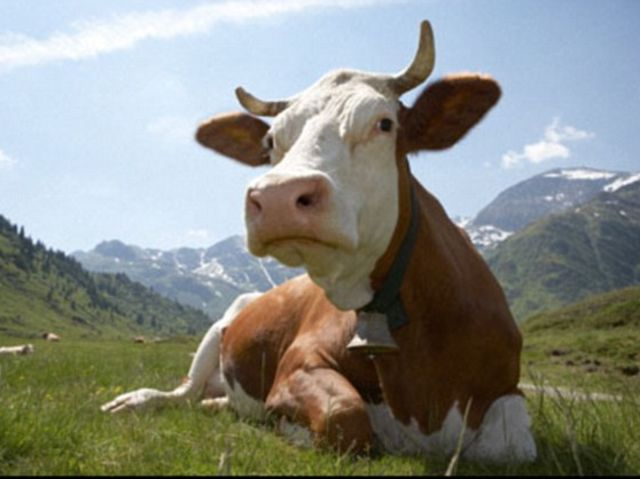 The average cow moves from a standing to a laying position or vice versa 98 times per week.