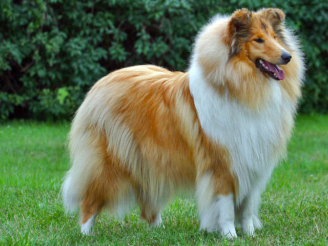 Find the Collie in this group of Shetland Sheepdogs!
