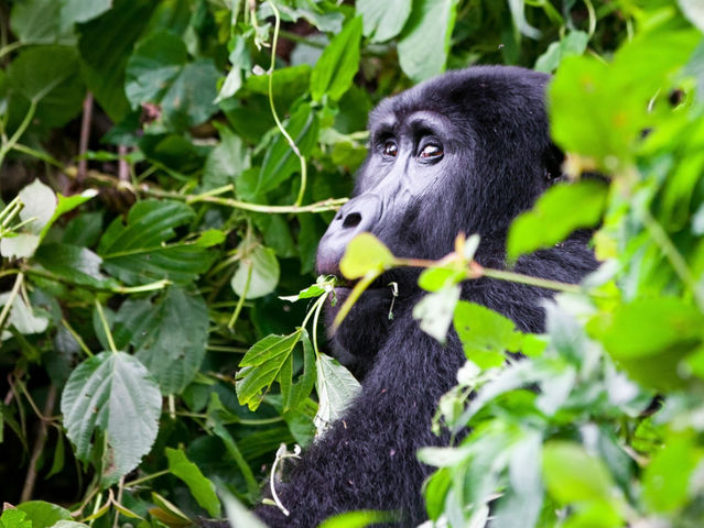 Which three countries in Africa are the only ones where mountain gorillas still remain?