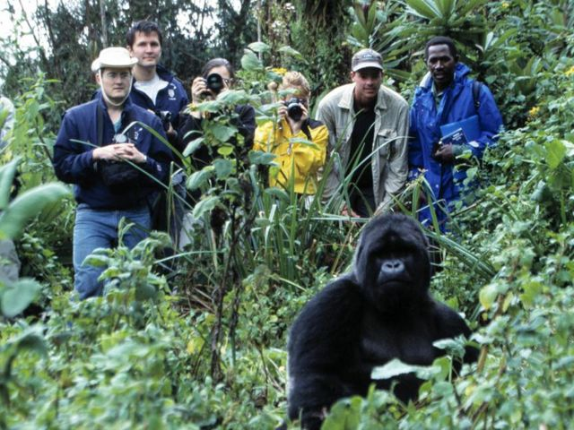About how many mountain gorillas remain in the wild?