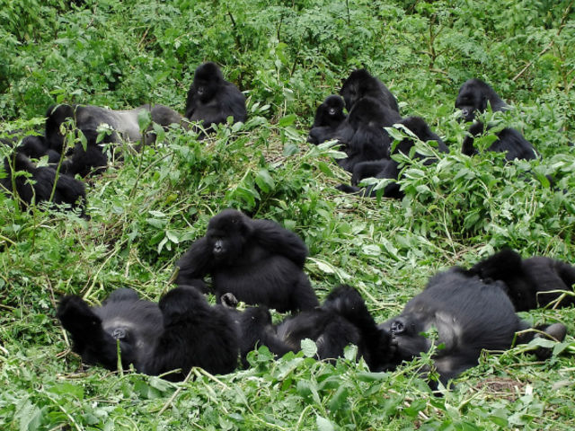 Mountain gorillas live in troops of up to how many individuals?