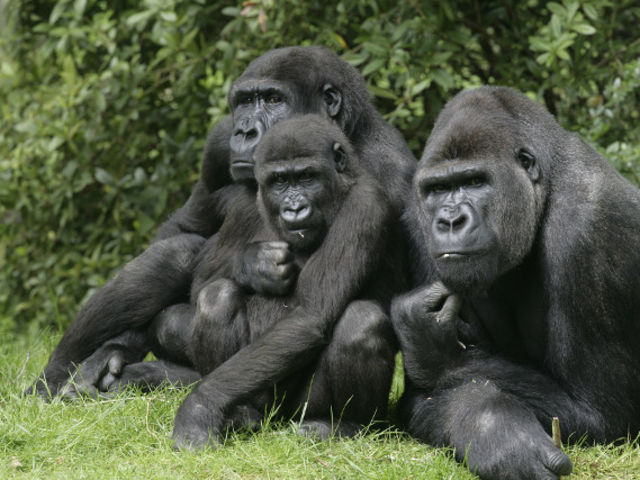 "What is the average size of the ""home range"" of a troop of gorillas?"