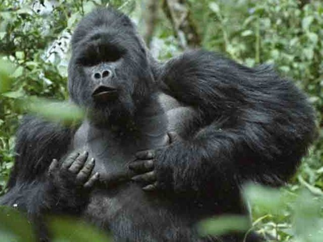When do male gorillas get aggressive?