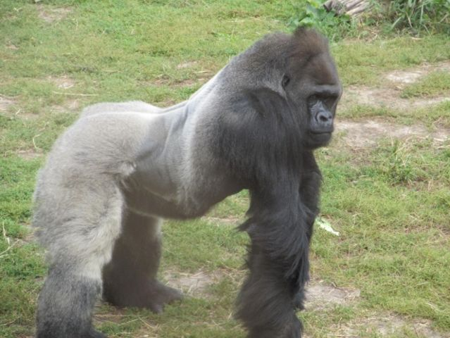 A fully grown male silverback can weight up to how much?