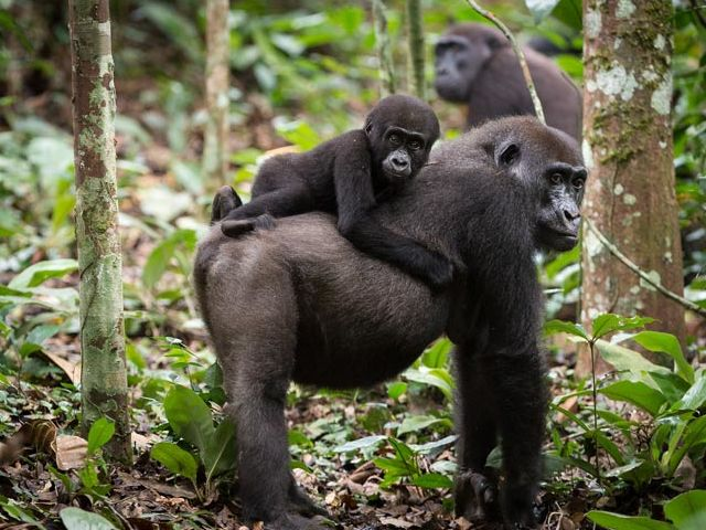 What is the youngest age a female gorilla can conceive babies?