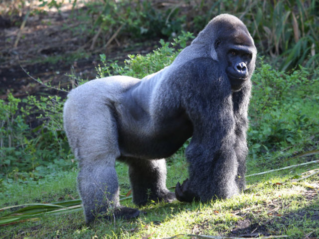 True or false: gorillas' arms are longer than their legs.