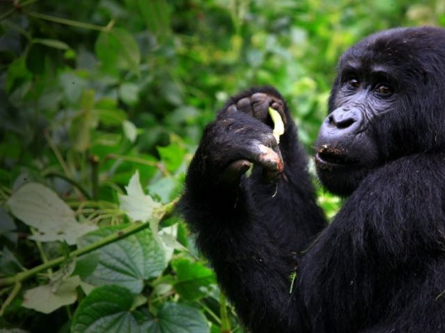 Mountain gorillas primarily eat what?