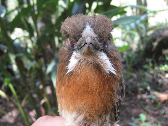 This guy is a mustached puffbird!