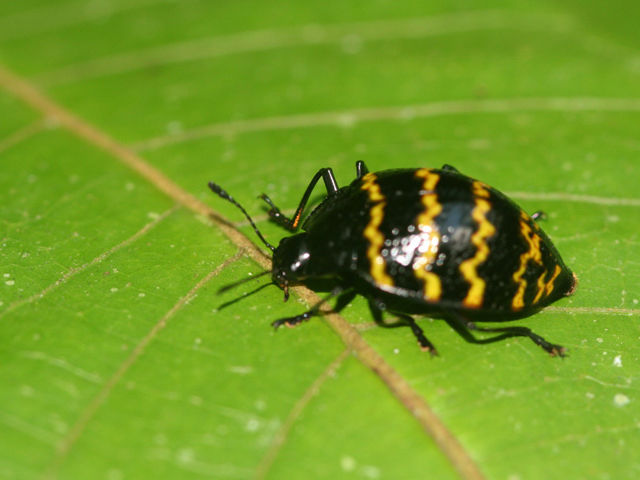 This little fellow is the pleasing fungus beetle.