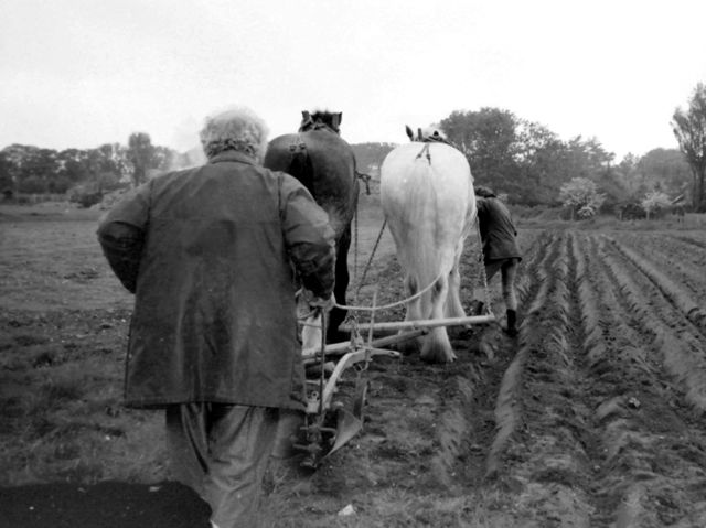 Before tractors, ploughing was done by special horses. What were they known as?