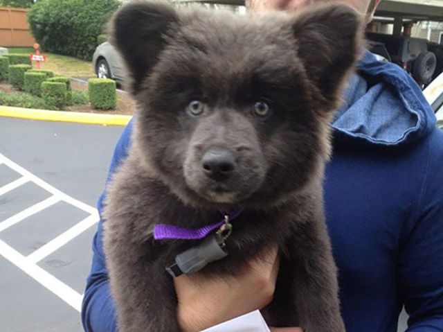These Puppies Look Like Teddy Bears Because Sometimes Everything Is