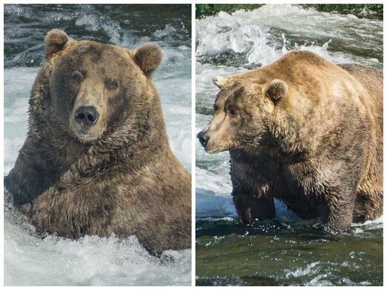 Meet The Fattest Bear In Katmai National Park!