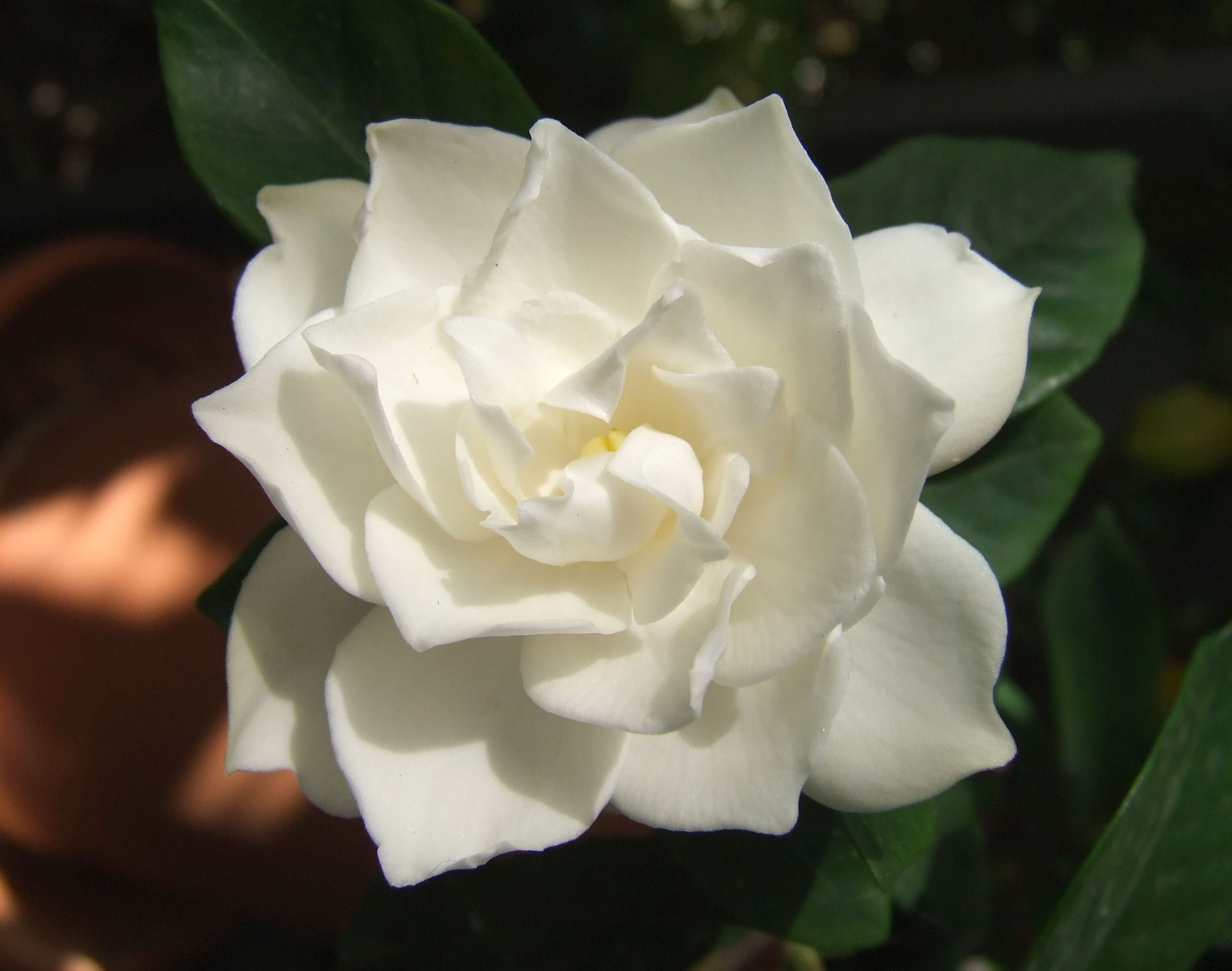 Outstanding White Flower Embrocation Wiki Component Best Evening