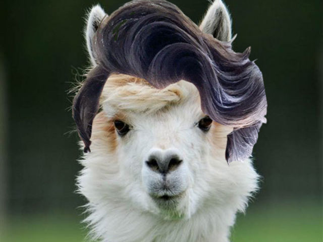Which Youtuber Hairstyles Are These Llamas Wearing Playbuzz