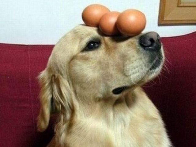 Can My Dog Eat Boiled Eggs
